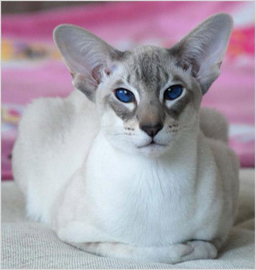 Фото яванской кошки