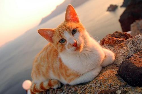 Эгейский кот