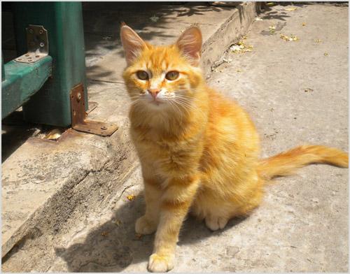 Кошка эгейской породы