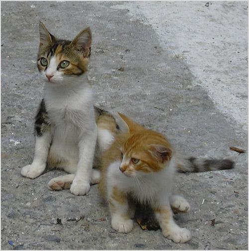 Котята эгейской кошки