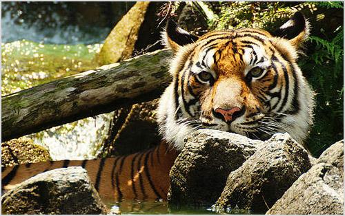 Тигр сидит в воде