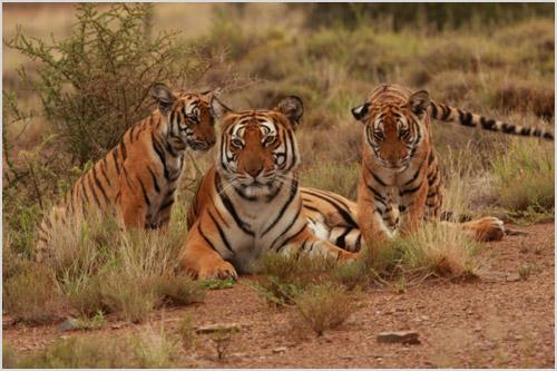 Самка китайского тигра с детенышами