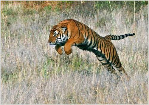 Китайский тигр на охоте