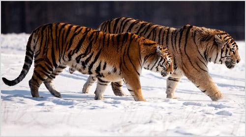 Китайские тигры