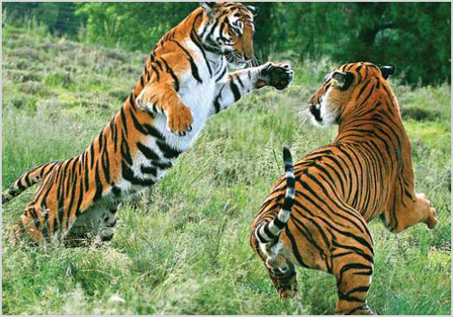 Китайские тигры дерутся