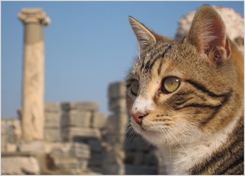 Фото анатолийской кошки