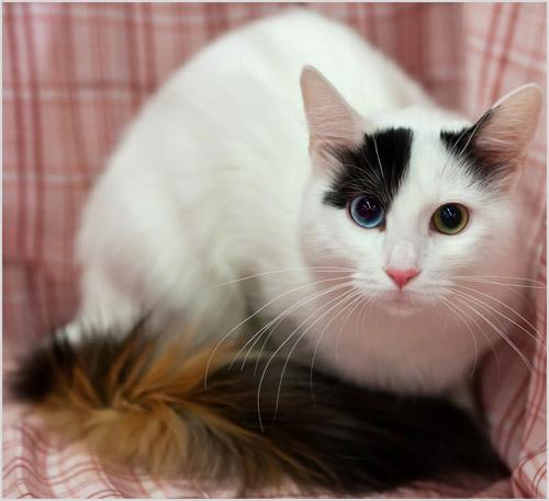 Турецкая короткошерстная кошка