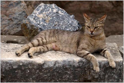 Кошка анатолийской породы