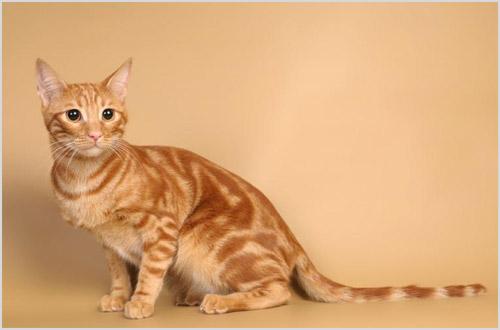 Рыжая анатолийская кошка
