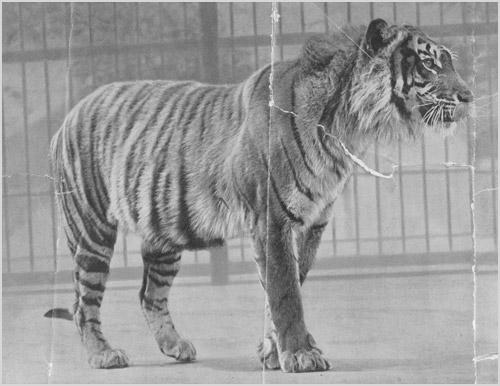 Фото балийского тигра