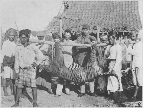 Фото убитого балийского тигра