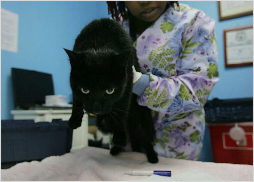 Кошка на осмотре ветеринара