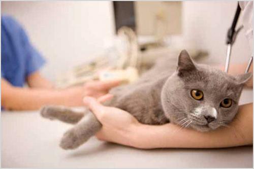Осмотр кота ветеринарами