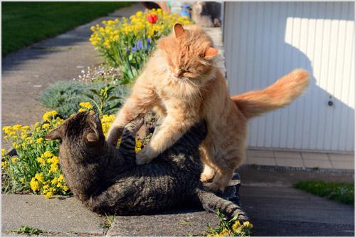 Дерущиеся кошки