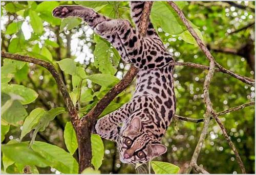 Кошка маргай висит на дереве