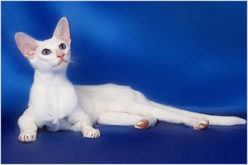 Кошка породы форин вайт