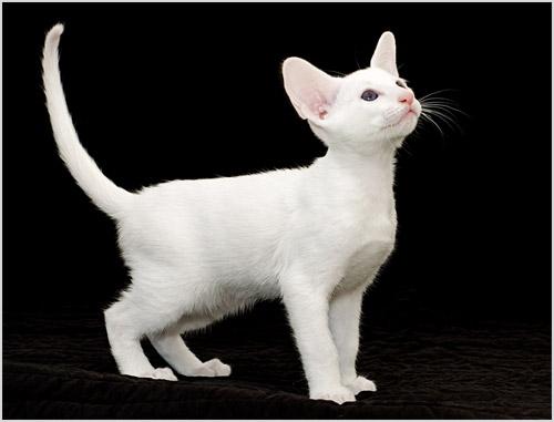 Котенок породы форин вайт