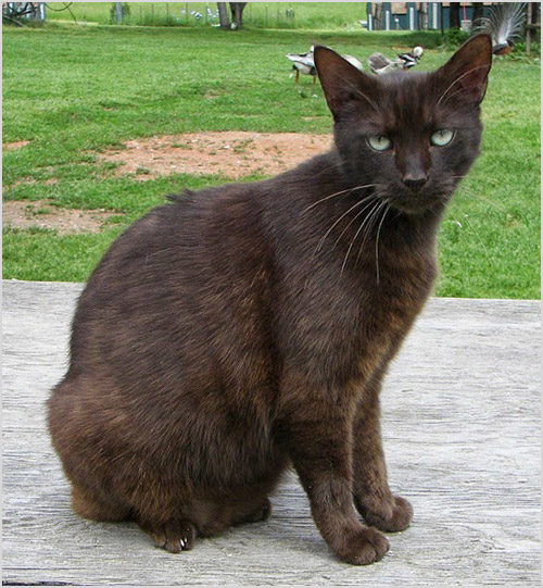 Кошка породы гавана браун