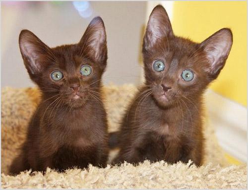 Котята породы гавана