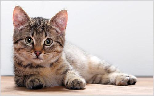Котенок калифорнийская сияющей кошки