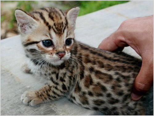 Котенок породы сафари
