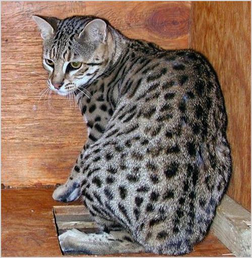 Кот сафари