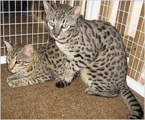 Кошки породы сафари