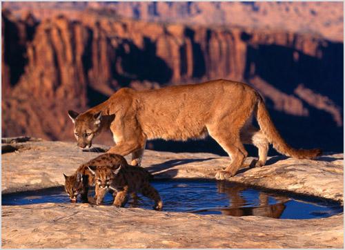 Самка пумы с котятами