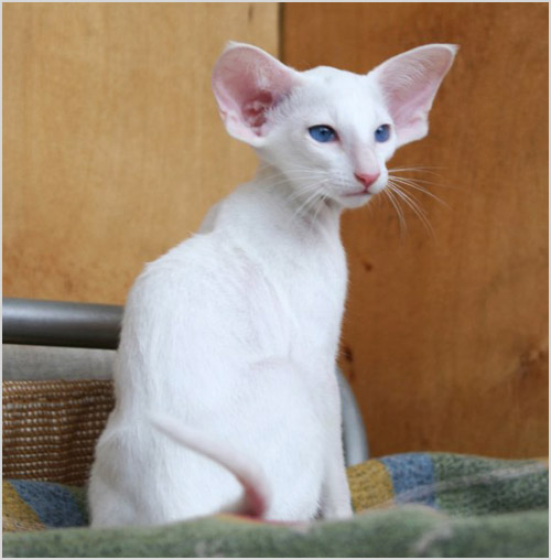 Фото сейшельской кошки