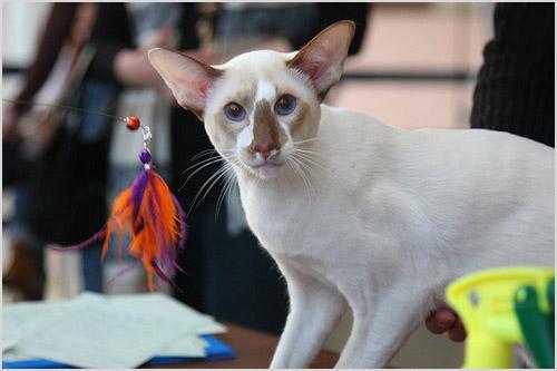 Кошка сейшельской породы