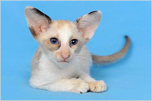 Сейшельский кот