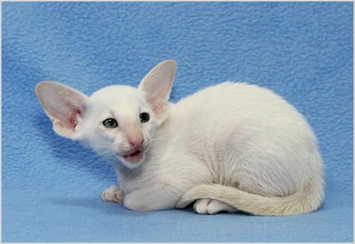 Сейшельский котенок