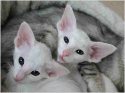 Сейшельские котята