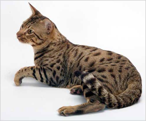 Соукок кошка