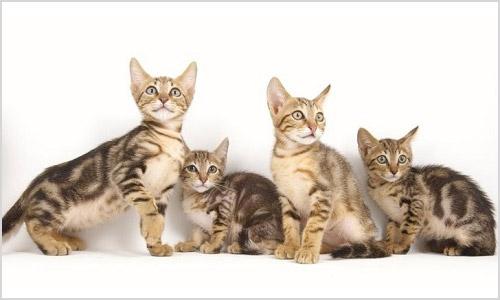 Котята кенийской лесной кошки