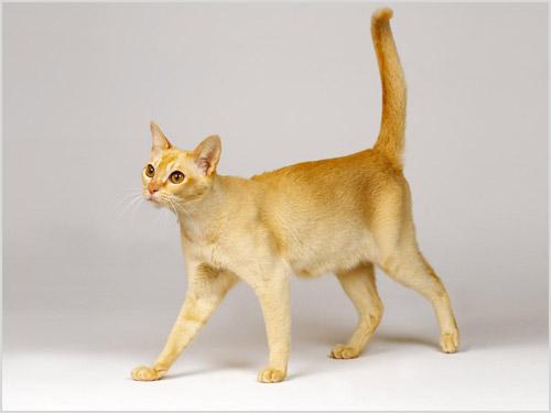 Фото кошки цейлонской породы