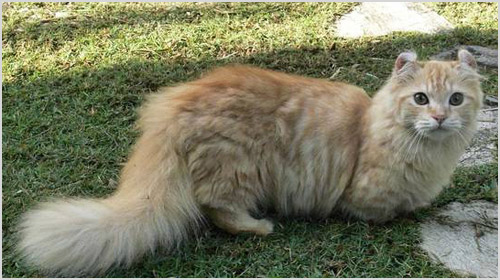 Кошка кинкалоу